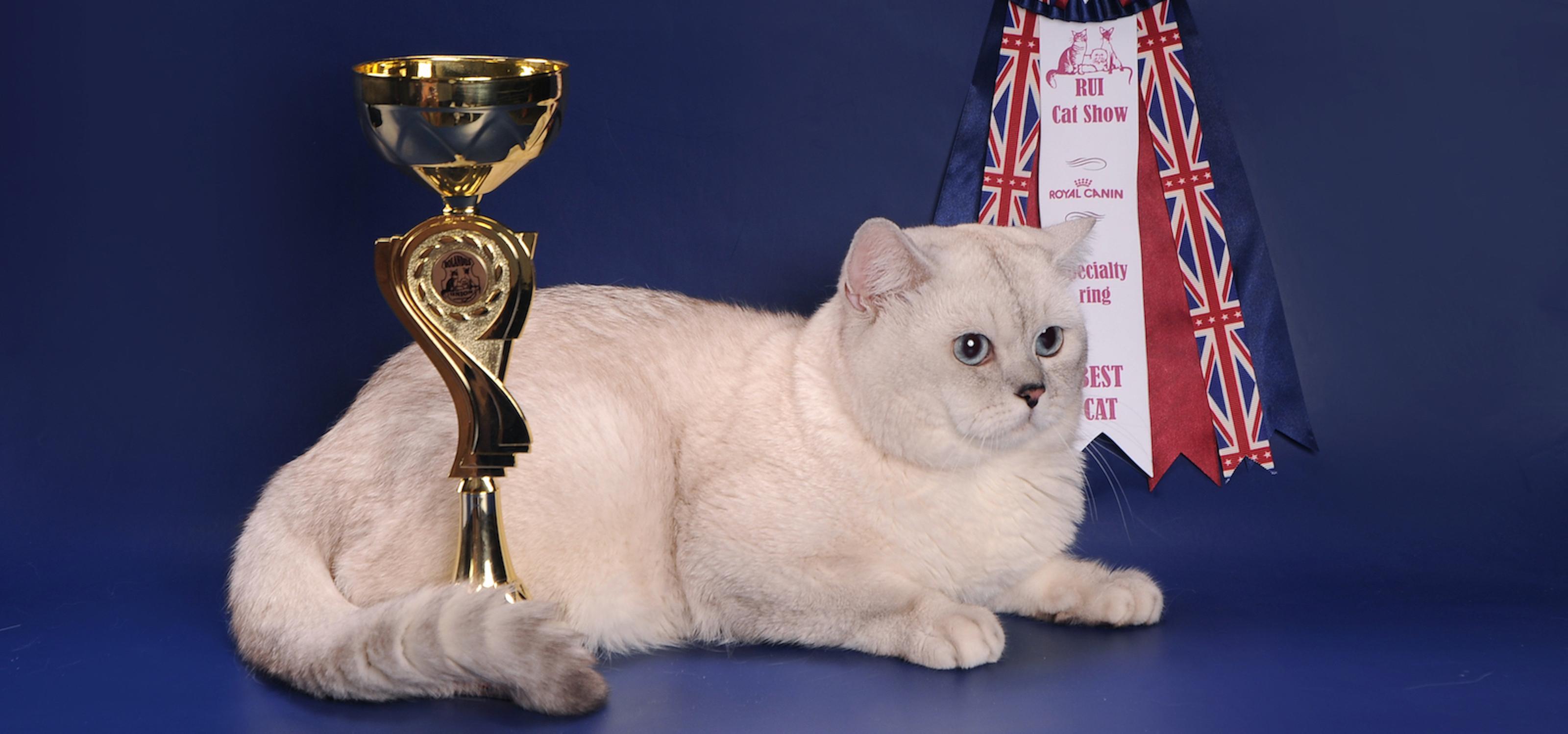 White British shorthair kittens NS 11 33 Silverbri British
