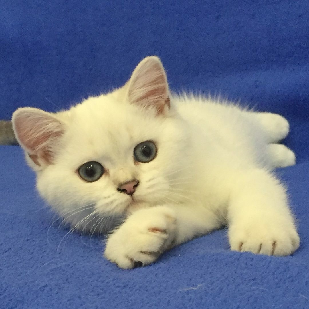 White british shorthair kittens for sale